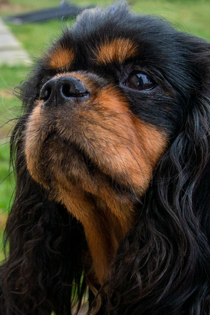Cavaliere In Not Cavalier King Charles Spaniel Private Tierschutz