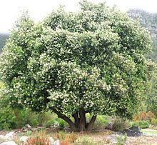 Cassine Peragua     in flower            Bastard Saffronwood/Cape Saffron Tree in flower                Bastersaffraan       6-10 m       S A no 414