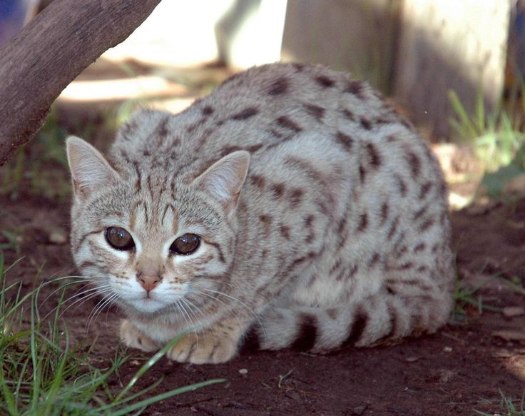 Silver bengal cat information
