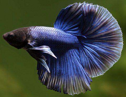Betta splendens, Pesce Combattente, Famiglia: Belontiidae