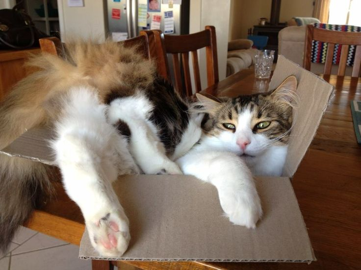 Fluffy loves the card board box. Photo: Christie Jarrett.
