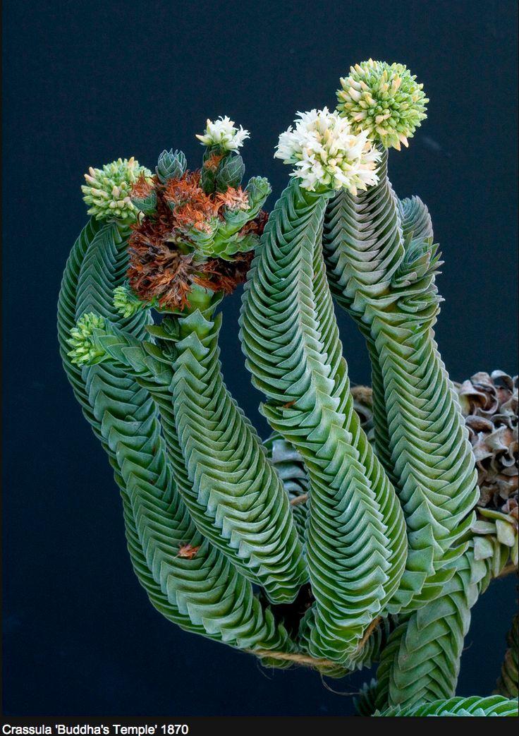 """Crassula """"BuddhasTemple"""" is a hybrid of Crassula perforata var minor & Crassula pyramidalis. /. Succulents"""