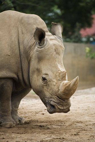 A white rhino at the Louisville Zoo in Louisville, KY.