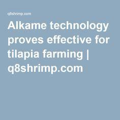 Alkame technology proves effective for tilapia farming | q8shrimp.com