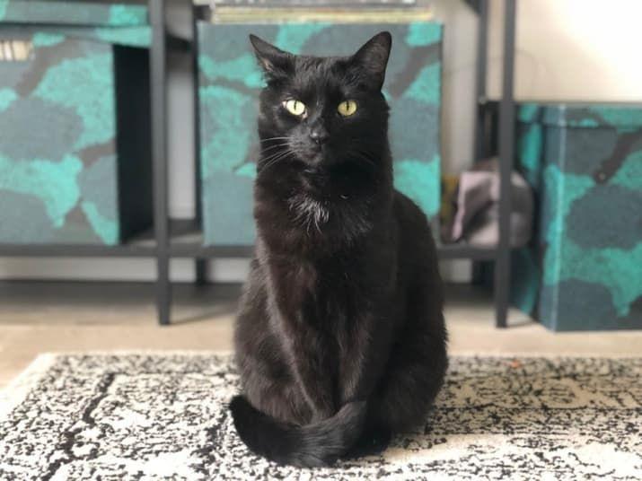 17 Reasons You Should Never Adopt A Black Cat Black Cat Adoption