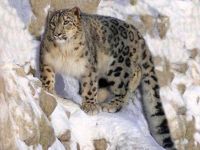 άγρια ζώα: Η λεοπάρδαλη του χιονιού