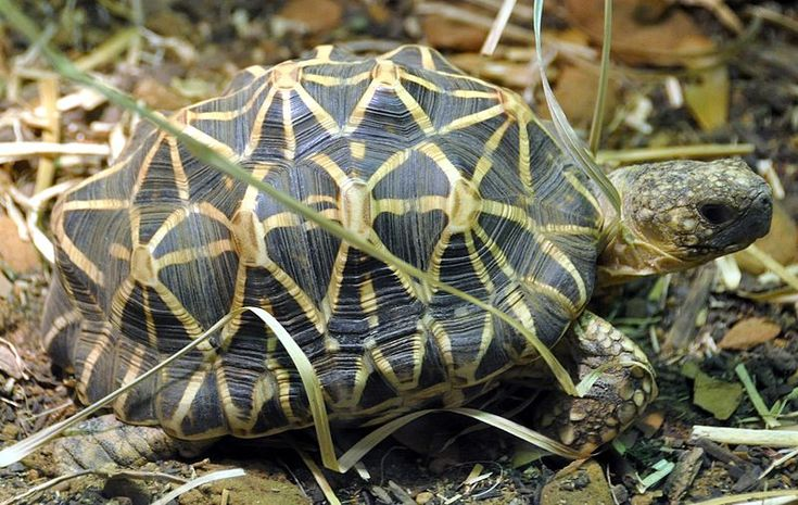 The Indian star tortoise (Geochelone elegans) is a species of tortoise found in dry areas and scrub forest in India and Sri Lanka.