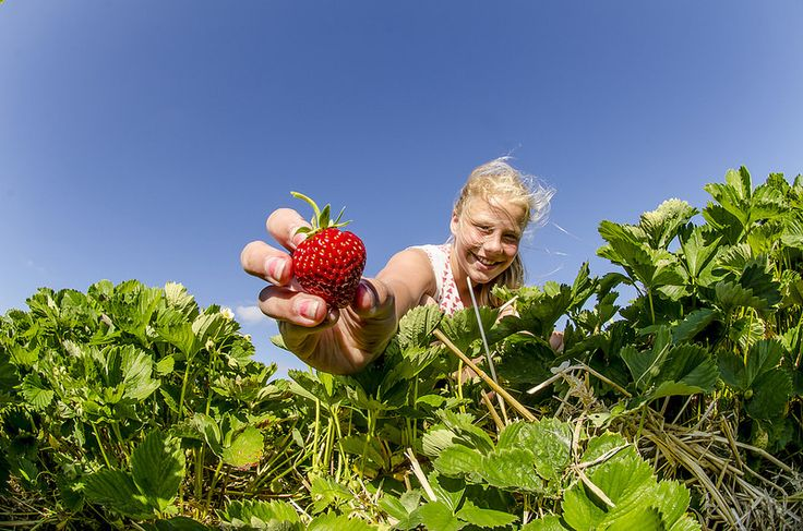 Der plukkes jordbær