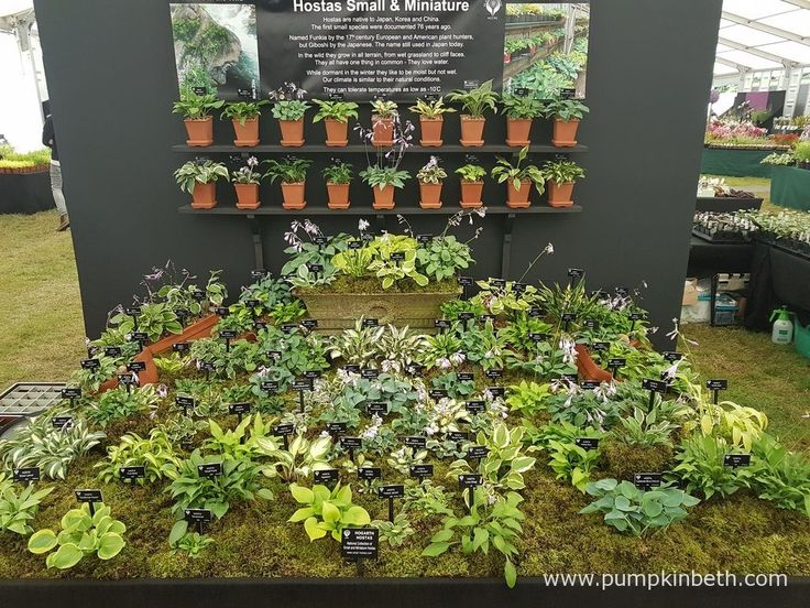 Hogarth Hostas were awarded a Gold Medal, and the prestigious title of Best Plant Heritage Exhibit, at the RHS Hampton Court Palace Flower Show 2016.