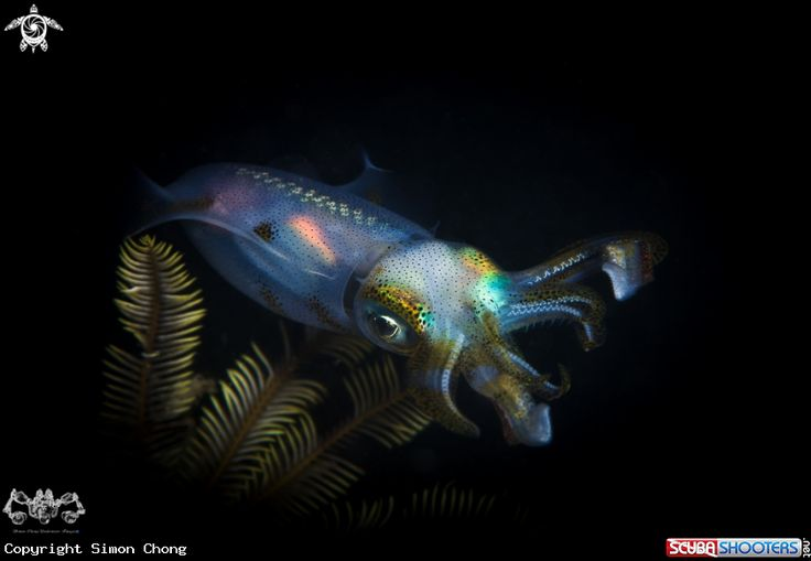 Squid In The Night  in Semporna - Sabah - Malaysia