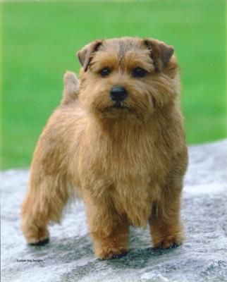 Norfolk Terrier= I don't usually like small dogs, this one would be an exception