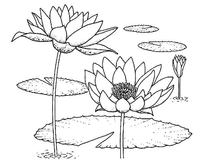 Les 25 meilleures id es de la cat gorie n nuphar dessin sur pinterest fleurs n nuphar dessin - Nenuphar dessin ...