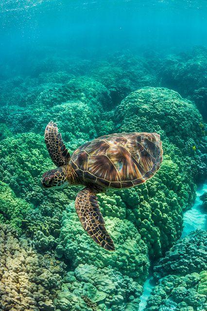 Green Sea Turtle Swimming among Coral Reefs off Big Island of Hawaii by Lee Rentz!