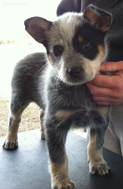 Australian Cattle Dog Pictures (o566qnf58y6)