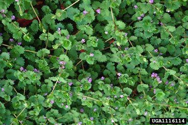 Ground ivy plants