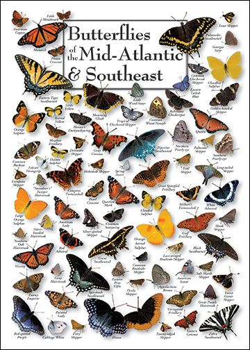 Butterfly Species Chart Butterfly Identification