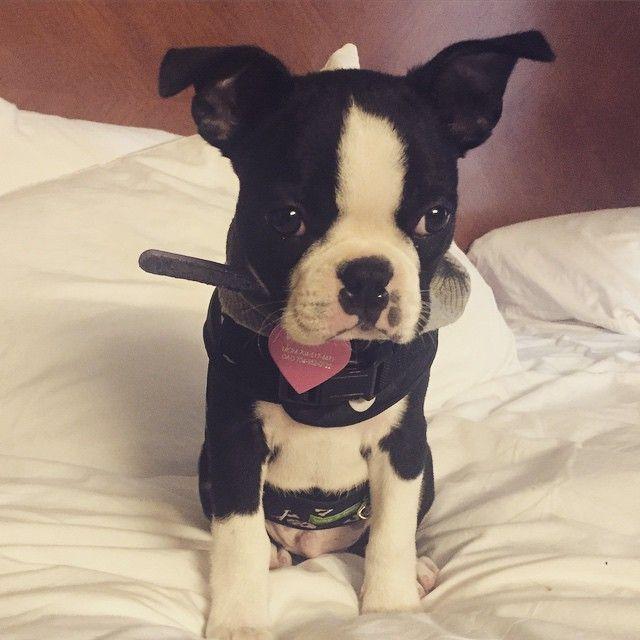 The Boston Terrier, Bowie, waking up at Hyatt Place Atlanta/Buckhead. Follow him on Instagram at @davidbowietheboston. #PetsofHyatt
