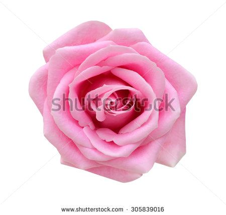 single rose lying down - Google Search