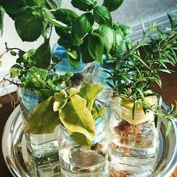 ローズマリー・ルッコラ・パセリ・ミントなど、水耕栽培で育てられるハーブは他にも色々あります。食材として利用するだけでなく、器にこだわれば、香り豊かなインテリアグリーンにもなります。