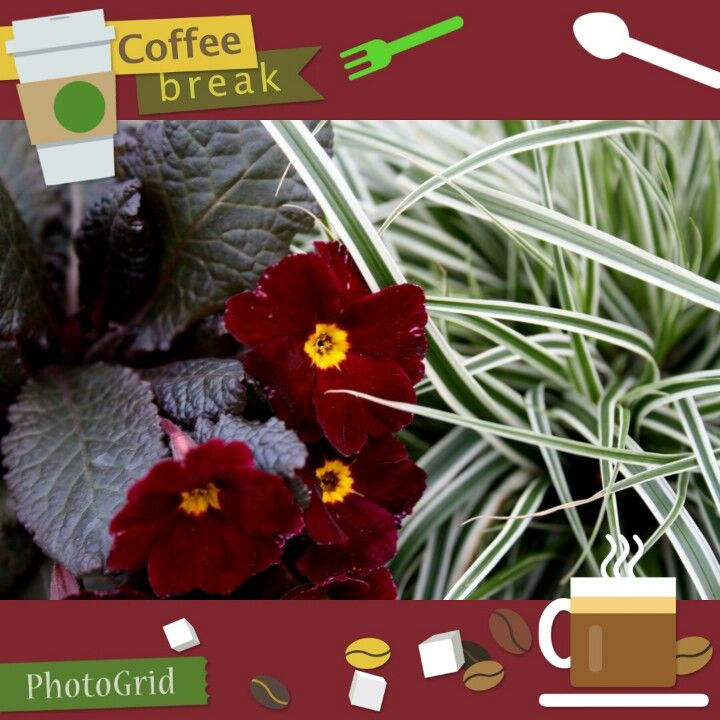 Irish Primrose Innisfree with Carex Everest