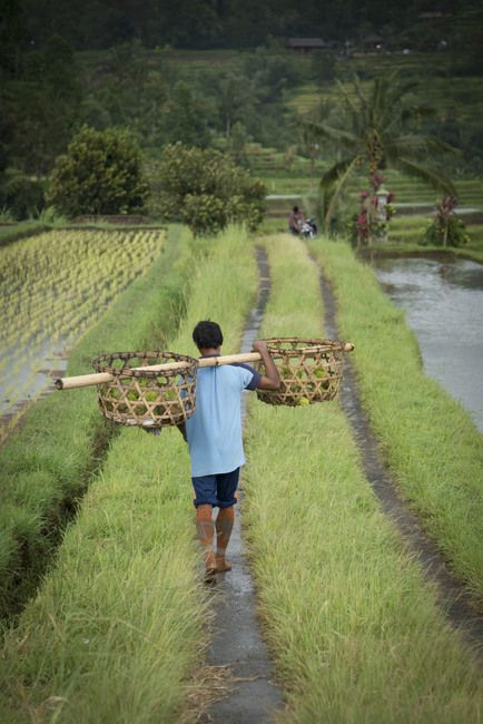 A male farmer walks thought rice fields with large baskets on his shoulder in Jatiluwih, Bali, ...