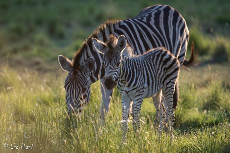 Zebra & youngster grazing