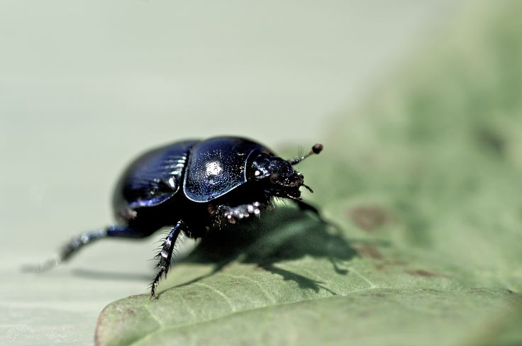 Photographer Pernille Westh | Dor Beetle on the run · Get my 7 FREE basic photography tips - you need to know! http://pw5383.wixsite.com/free-photo-tips