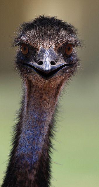 Exmouth Emu   Flickr - Photo Sharing!