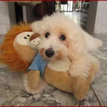 Duda - Duda é uma mestiça de poodle com maltês muito agitada e carinhosa.
