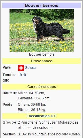 bouvier bernois bouvier bernois chien de garde