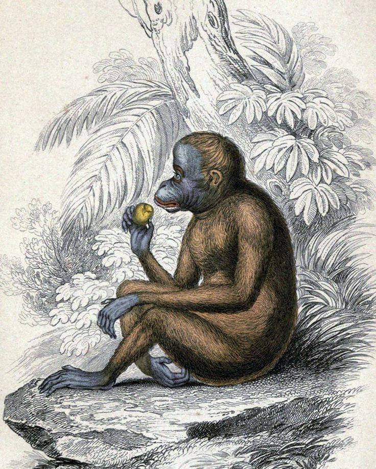 Orangutan /Pithecus satyrus, the Red or Asiatic Orang-outang/ (Jardine 1846)