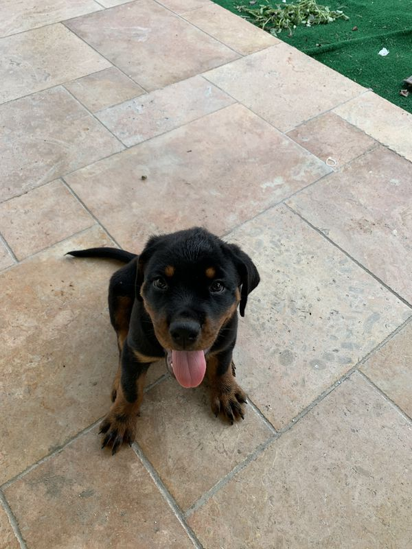 Puppies Rottweiler For Sale In Miami Fl Offerup Rottweiler For Sale Rottweiler Puppies