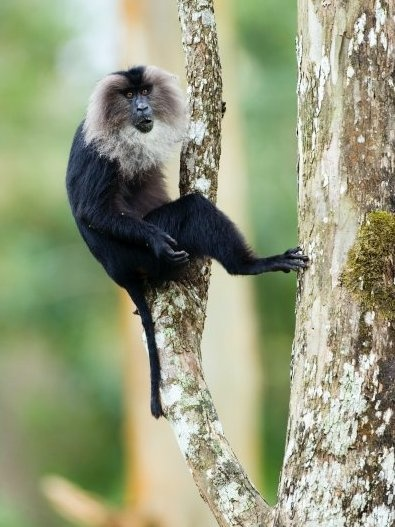 Nilgiri/Lion tailed langur (Trachypithecus johnii).Brown Fur, Westerns Ghats, Glossy Black, Diet Consistency, South India, Nilgiri Hills, Long Tail, Agriculture Land, Black Fur