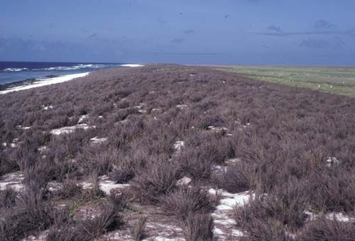Grassy dune on Jarvis Island, Territory of the United States