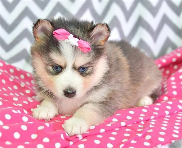 Petland Overland Park Has Pomsky Puppies For Sale Check Out All