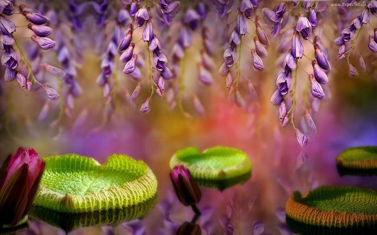 Kwiaty, Glicynia, Lilie Wodne