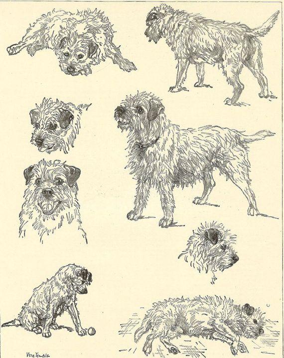 The Border Terrier in varying moods!