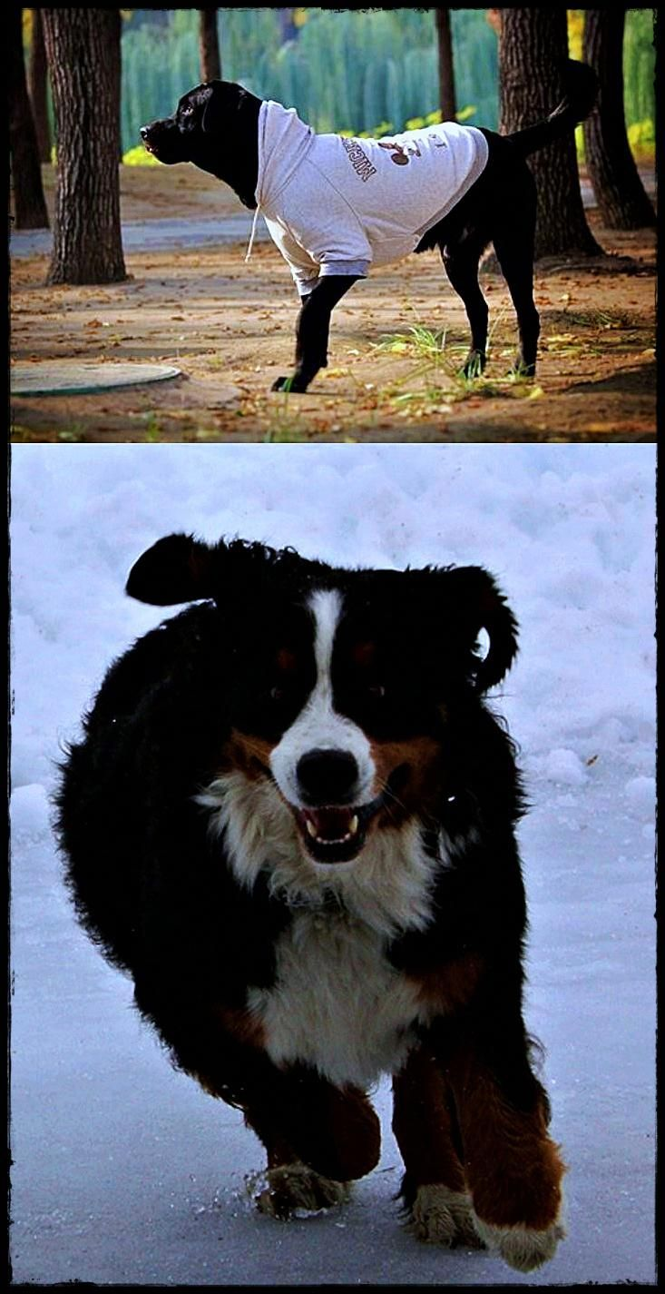 Labrador Breeders Uk Get It Now Labradorcity