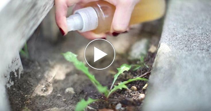 În acest video afli 10 metode miraculoase în care poți folosi oțetul de mere. Curăță suprafețe de lemn și le redă luciul. Este absolut incredibil cum funcționează oțetul în acest caz. Iei o cană de oțet și o amesteci cu 2 căni de apă, după care adaugi două linguri de ulei de măsline. Înmoaie o lavetă în această compoziție și schimbă total look-ul scaunelor și mobilierului tău. Chiar funcționează! 2. Curăță grăsimea. Pur și simplu toarnă oțet de mere într-un recipient și…