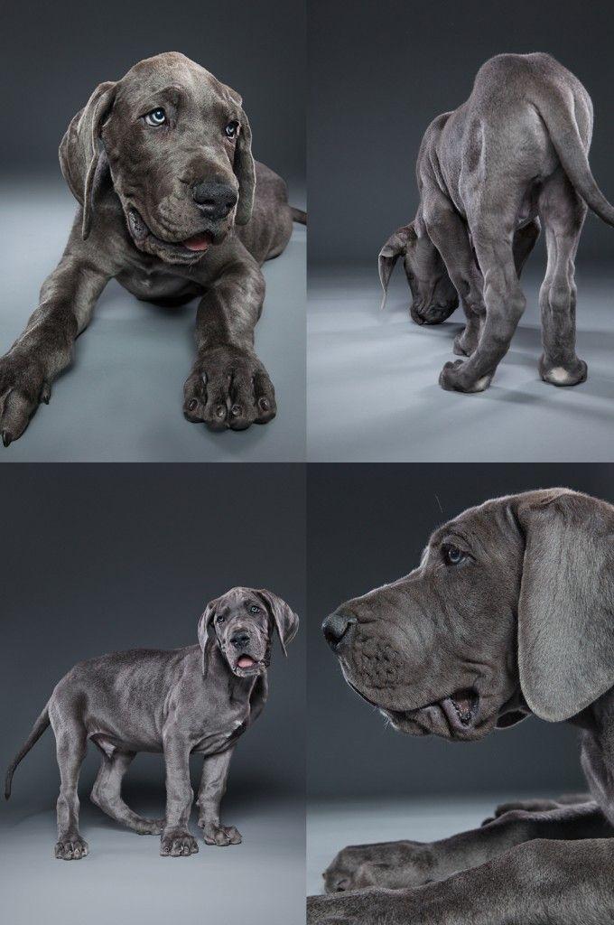 great dane puppy photo montage.