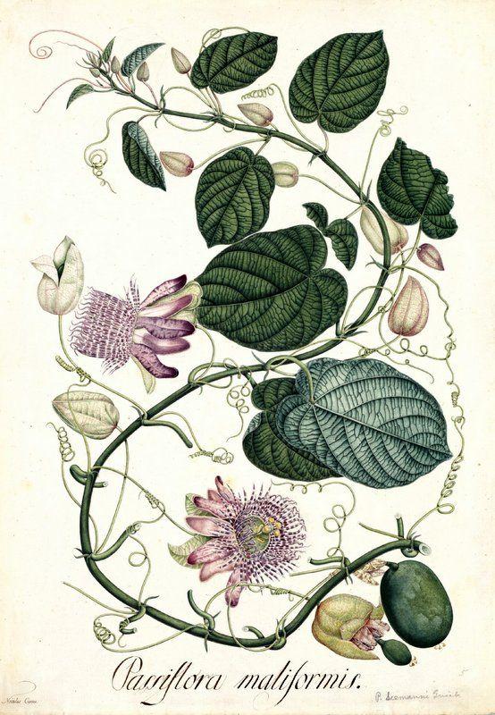 Passiflora maliformis. Proyecto de digitalización de los dibujos de la Real Expedición Botánica del Nuevo Reino de Granada (1783-1816), dirigida por José Celestino Mutis: www.rjb.csic.es/icones/mutis. Real Jardín Botánico-CSIC.