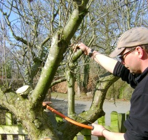 Apple Tree Recovery – Pruning & how to revive an old tree