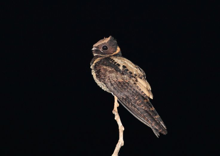 2349. Great Eared Nightjar (Lyncornis macrotis) | found in Southeast Asia with populations in the Western Ghats and Sri Lanka[3] Bangladesh,[4] India, Indonesia, Laos, Malaysia, Myanmar, the Philippines, Thailand, and Vietnam in subtropical or tropical moist lowland forests