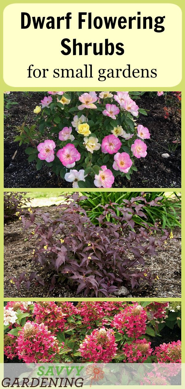 Dwarf Flowering Shrubs For Small Gardens And Landscapes Dwarf