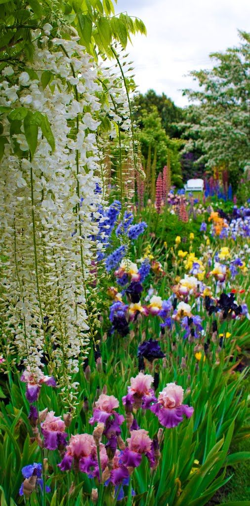 Garden Design Oregon best 25+ iris garden ideas on pinterest | iris flowers, bearded