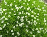 Find This Pin And More On Ground Cover By Tamifuller Irish Moss Gets Y Tiny White Flowers