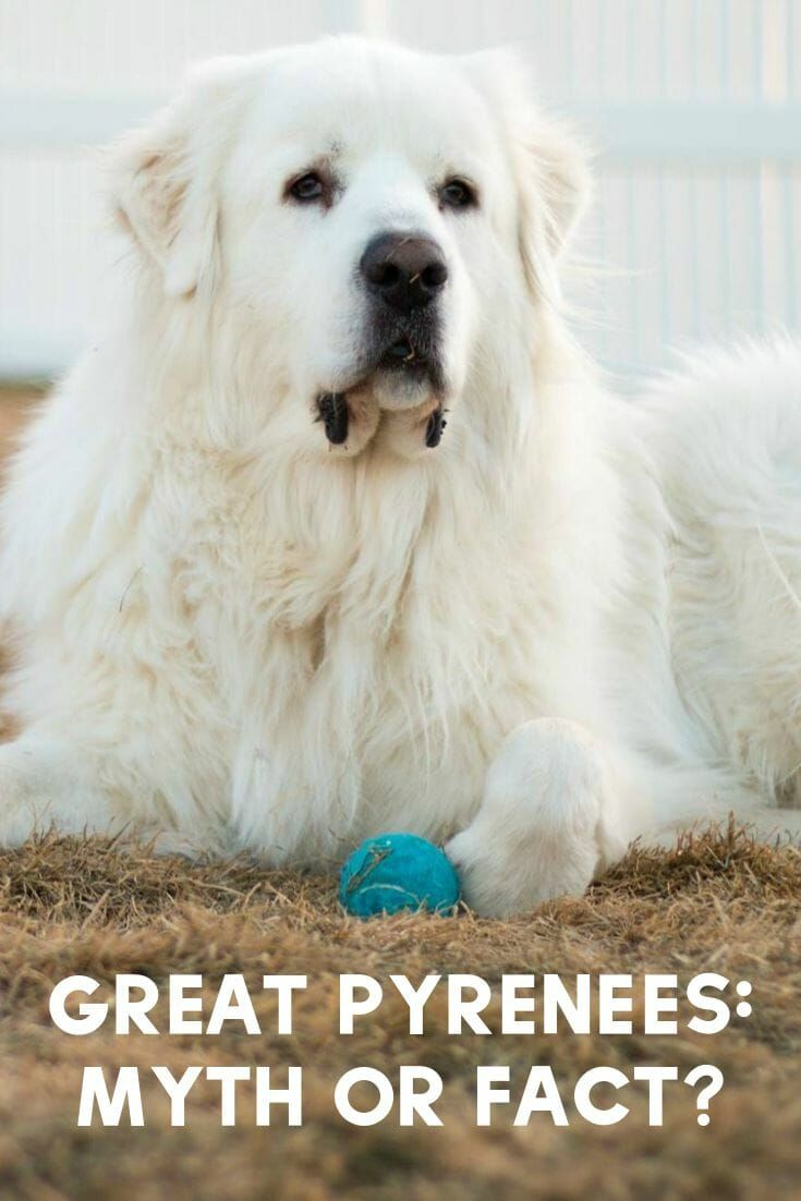 Great Pyrenees Myth Or Fact Great Pyrenees Great Pyrenees Dog