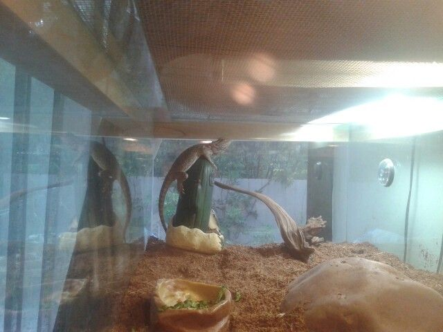 Dragon barbudo. Ama su cactus jajja. Terrario. Pogona. Reptil