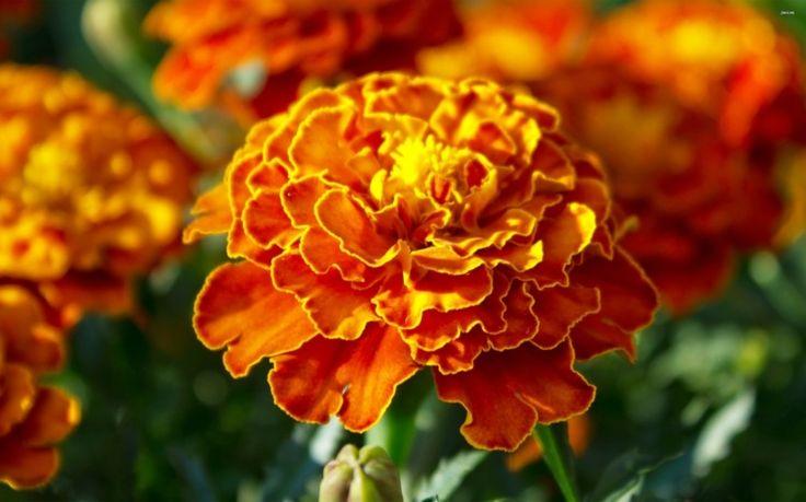 plante plein soleil fleurs-oranges-ardentes-tagète-Tagetes