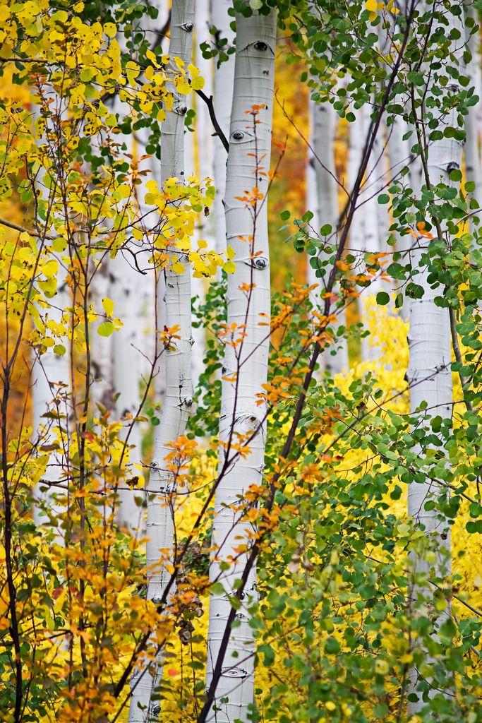 Birch Trees With Eyes Drxgonfly Polychromasia By Renae